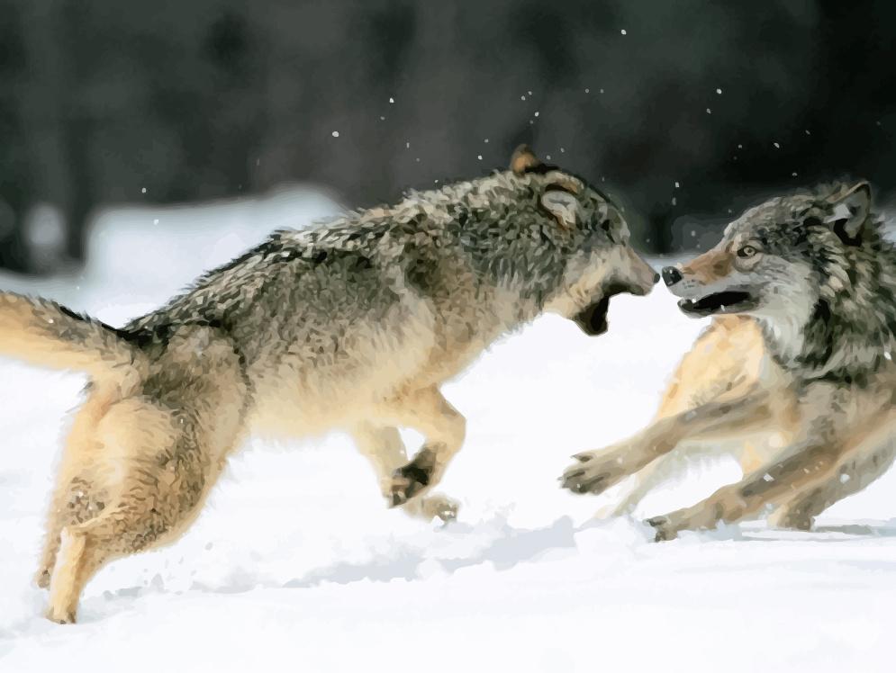 Két harcoló farkas